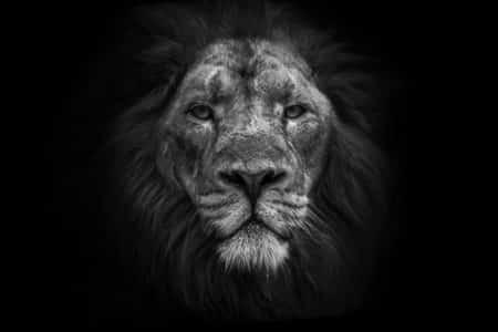 photo-lion-dafrique-guillaume-mordacq