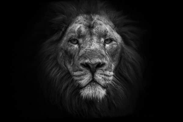 photo lion dafrique guillaume mordacq