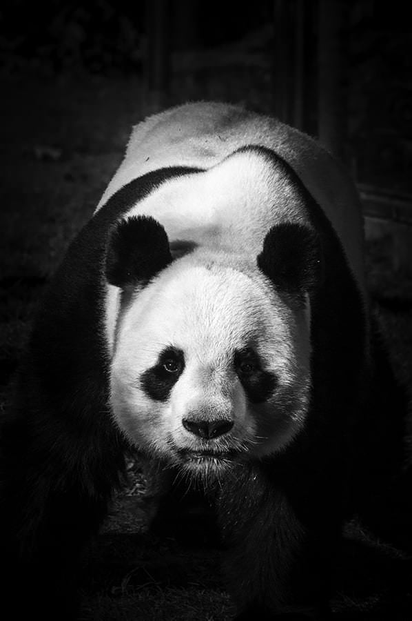 photo panda dominant guillaume mordacq