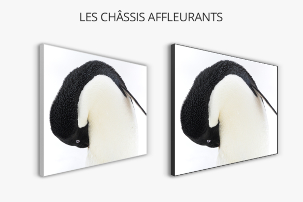 Photo manchot adelie châssis affleurants
