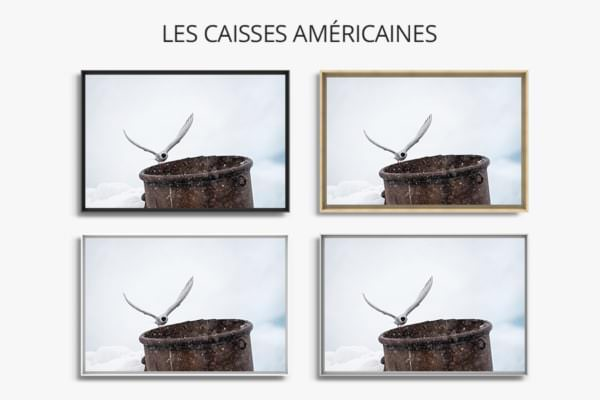 Photo sterne arctique caisse americaine