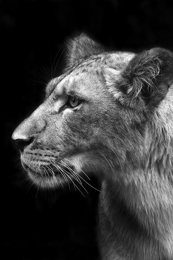 Lionnescruteuse guillaume mordacq   X