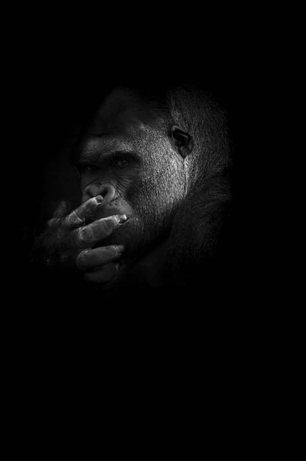 gorille-mystere_guillaume_mordacq