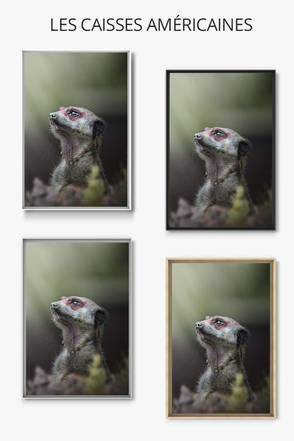 Photo-le-grand-chef-suricate-caisse-americaine
