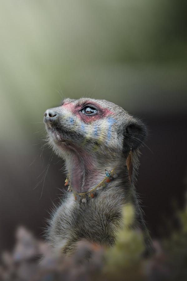 Photo-le-grand-chef-suricate-groc-de-salmiech-charles-3-2-120-180